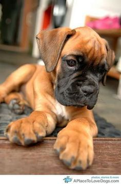 Boxer Puppy! My puppy needs a friend!!!