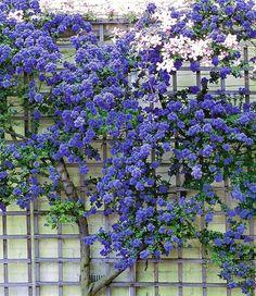 """Ceanothus """"Trewithen Blue"""", 1 plant - All For Garden Blue Garden, Dream Garden, Garden Shrubs, Garden Plants, Climbing Flowers, Coastal Gardens, Xeriscaping, Garden Cottage, Vegetable Garden"""