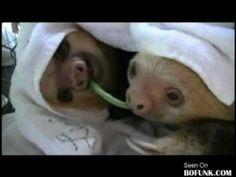 Baby Sloths Yo