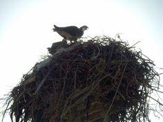 Nesting ospreys (gaviotas) in the Bird Sanctuary at Guerrero Negro http://bajabybus.com/blog/item/16-guerrero-negro