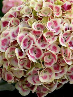 Hydrangea Cityline Mars -- Bluestone Perennials, Inc