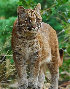 Asian Golden Cat - Widespread but Threatened Southeast Asian Cat | Animal Pictures and Facts | FactZoo.com