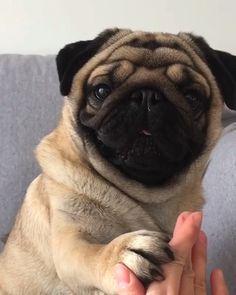 ✔ Animals And Pets Videos Tattoos Cute Baby Animals, Animals And Pets, Funny Animals, Pug Puppies, Pet Dogs, Doggies, Baby Pugs, Cute Pugs, Pug Love