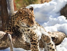 Amur Leopard  Of all the leopards, the Amur leopard is the most critically endangered.  