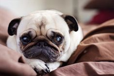 Why do pugs always look so sad when they want to?