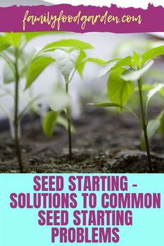 Learn some solutions to common seed starting problems such as leggy plants, molds, or it simply just didn't sprout. Here's everything you need to know about seed starting plus a few tips on how to handle them. See it here! #gardening #gardeningtips #seedstarting Container Gardening, Gardening Tips, Healthy Fruits And Vegetables, Whats Wrong, Seed Starting, Small Trees, Growing Plants, Family Meals, Sprouts