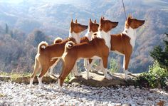 Red and White Basenji pack