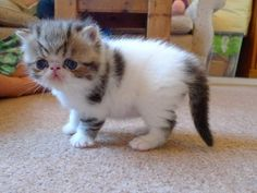Exotic British Shorthair | Exotic shorthair Lovely Baby