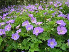 """Geranium """"Rozanne"""" (Ooievaarsbek). Schitterende vaste plant die bloeit van mei t/m oktober. Met een hoogte van zo'n 40cm is dit een aanwinst voor de tuin of op het balkon. Verlangt een (half)zonnige standplaats en een humusrijke grond."""