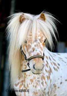 Appaloosa Miniature Horse, love the mane! Poney Miniature, Miniature Ponies, All The Pretty Horses, Beautiful Horses, Animals Beautiful, Cute Horses, Horse Love, Animals And Pets, Cute Animals