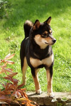 SHIBA-INU.Mine was a rescue dog, strange for an expensive breed. He'd been living in the river valley, eating the wildlife, and was FAT when I got him. He lost the weight, but not his hunting skills. He was very dominant with other dogs, having to be kept away from strangers lest he try and kill them.He was dangerous, but not to his family. He once took out a Black Lab that was trying to eat my other dog (a Border Shelty cross). I miss him, and think of him almost every day.