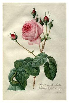 rose botanical prints