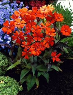 Lychin Pt Sun Full 15 24 Garden Landscapingflower