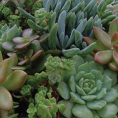 Succulents General  Assortment - Rooted Cutting Liner