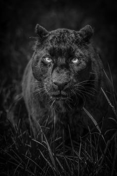 Well I saw one once with my former husband Alex in 1988, story notes to follow but what great beauty. It's either a black leopard or jaguar. Kudos to the creator and this former cub's gene pool and of course the photographer - perfect!