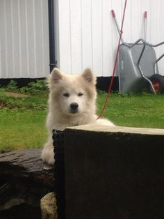 Ozzy Mixed Breed, Husky, Dogs, Animals, Animales, Animaux, Pet Dogs, Mixed Race, Doggies
