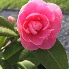 🌸Guten Morgen ihr Lieben 🌸 heute ist so herrliches Wetter ☀️da hat man direkt gute Laune ☀️im Laufe des Tages wird der / die Gewinner/in  der Märzverlosung ausgelost 🌸 ich wünsche euch allen einen ganz wunderbaren Sonntag 🌸 #instablogger #instafollow #instalike #natur #sonntagmorgen #sonnenschein #kamelie #pink #gewinnspiel #gewinnen #verlosung #vielglück #picoftheday #beauty #beautyblogger #beautyblog
