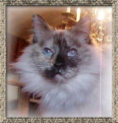 seal tortie point Ragdoll cat