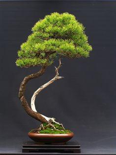 Pinus sylvestris by WŁODZIMIERZ PIETRASZKO