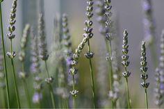 stock photography  tslapointedesign.com lavender