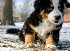Google Image Result for http://data.whicdn.com/images/8687864/riggs-the-bernese-mountain-dog-3_33668_2009-09-01_w450_large.jpg