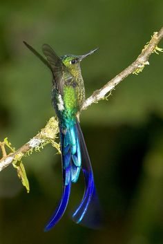 A wonderful picture of a Violet-tailed Sylph (Aglaiocercus coelestis) near the lodge.  Photo: Joao Krajewski.