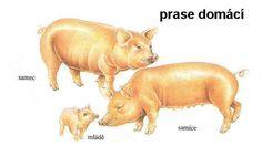Farm Animals, Animals And Pets, Showing Livestock, Hippopotamus, New Image, Safari, Montessori, Nature, Cousins