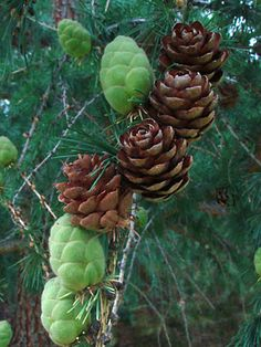 Larix laricina (Du Roi) K. Nature Plants, Flowers Nature, Exotic Flowers, Amazing Flowers, Conifer Cone, Conifer Trees, Pine Cone Tree, Pine Cones, Fall Clip Art