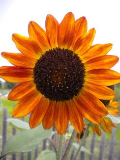 Organic Velvet Queen Sunflower - Helianthus annuus.   Striking sunflower has velvety, dark mahogany-red petals with an almost black center. Well branched, free-flowering plants with strong stems make this an ideal sunflower for borders or cut flowers. Plants grow 5–7' tall.
