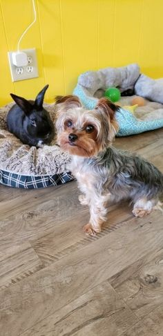 Cute Baby Dogs, Cute Babies, Free Puppies For Adoption, Yorkshire Terrier Rescue, Dog Stairs, Free Dogs, Dog Life, Pennsylvania, Labrador