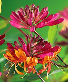 Buy climbing shrubs now Honeysuckle 'Goldflame'
