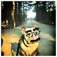English Bulldog - CHUNK with his reading glasses
