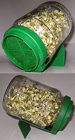 Semillas germinadas - Wikipedia, la enciclopedia libre