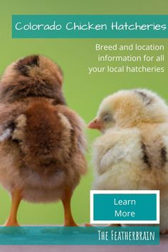 Find chicken hatcheries near you in the state of Colorado, and learn which breeds they carry. Whether you want rare, friendly heritage breeds, the best egg layers, or beautiful giant breeds, you'll learn where to find them here. Types Of Chickens, Raising Chickens, State Of Colorado, Chicken Breeds, Backyard Chickens, Chicken Eggs, Layers, Pictures, Animals
