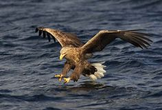 White Tailed Eagle in Norway