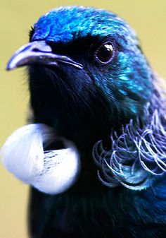 TUI - New Zealand an unassuming bird with the most amazing call. Beautiful Birds, Animals Beautiful, Cute Animals, Unique Animals, Beautiful Voice, New Zealand Tattoo, New Zealand Art, All Birds, Little Birds