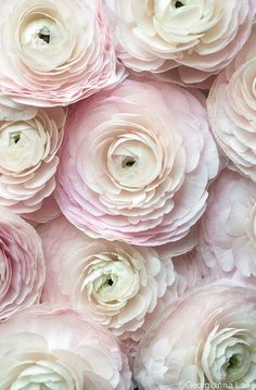 Paris Flower Photography - Cloni Ranunculus