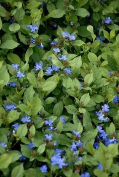1000 Images About Blue Perennials Zone 5 On Pinterest