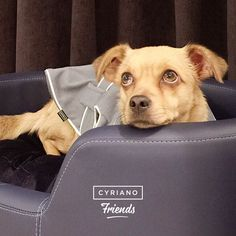 Nuestra clienta-perrita Ada se siente más que cómoda en nuestro sofá Soft azul. ¡Gracias por tu visita! #CyrianoFriends