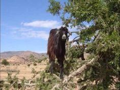 La cabra del Argán. Cabras sobre árboles en Marruecos