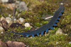 This velvet worm was photographed during a JCU field trip to Mt. Zero/Taravale Reserve, near the town of Paluma, Queensland, Australia