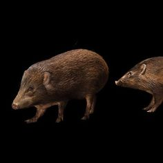Critically endangered pygmy hogs, one of the rarest mammals in the world, from my trip to India. #joelsartore #photoark #beautiful #photooftheday #india