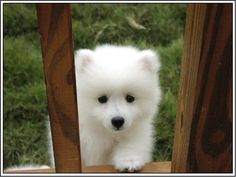 American Eskimo Puppy  Looks like a baby polar bear!