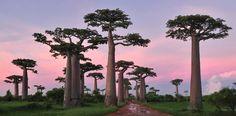 Les arbres les plus beaux du Monde - Baobabs de Grandidier - Madagascar