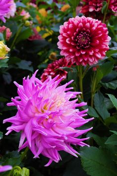 Dahlias blooming in the gardens at Biltmore House in Asheville NC