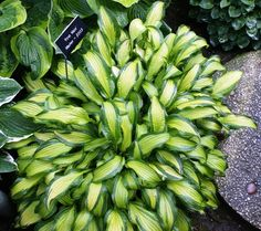 "SLUG RESISTANT:  'First Mate' hosta is a sport of 'Kabitan', but is more vigorous than 'Kabitan', with a wider dark green margin and gold centre.  10""H x 28""W - nhhostas.com"