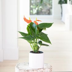 The full, lush leaves of the Anthurium are enough to make this houseplant stand out, but the Coral bract-style flowers take this easy-care plant to the next level. Flamingo Flower, Easy Care Plants, Plant Lighting, Plant Sale, Terracotta Pots, Low Lights, Houseplants, Indoor Plants, White Ceramics