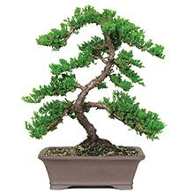 Green Mound Juniper Bonsai on Fast Growing Trees Nursery