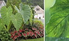 Giant Elephant Ear – A tuber that grows large, tropical looking leaves and stand up to eight feet tall, this is a wonderful addition to any shade or part shade garden. Only hardy down to zone 7, you can lift the tubers for winter if it isn't hardy in your area. Loves water, fertilizer and shade in the afternoon in hot areas.