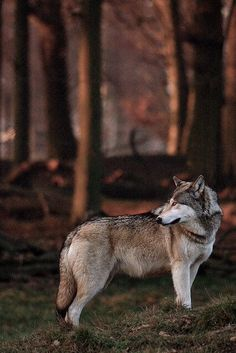 Love the inclusion of the wolves surroundings - reminds you of the important role it plays in the ecosystem.